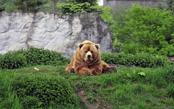 Wallpaper Brown bear sit on ground, grass