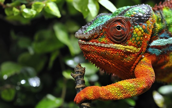 Wallpaper Chameleon, head, eye, colorful