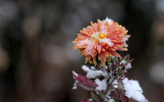 Wallpaper Chrysanthemum in winter, snow, orange petals
