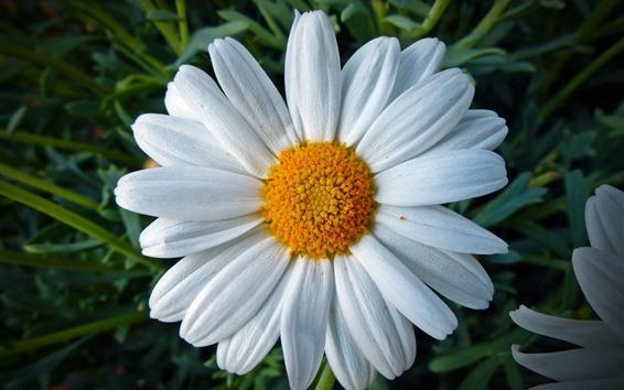 배경 화면 데이지, 하얀 꽃잎