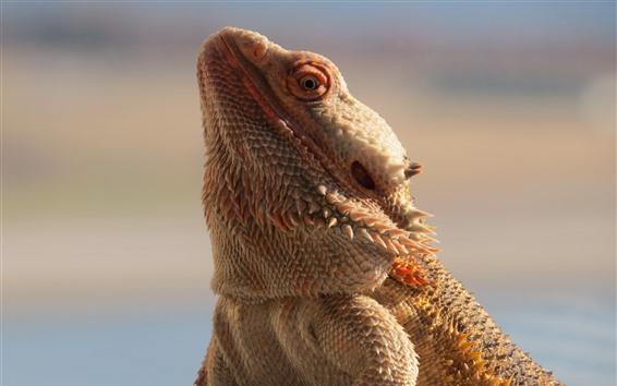 Papéis de Parede Lagarto dragão, escamas