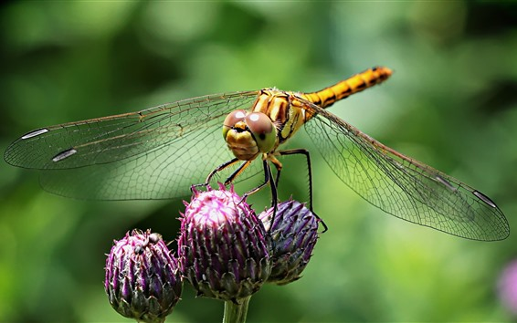 Papéis de Parede Libélula, asas, botões de flores
