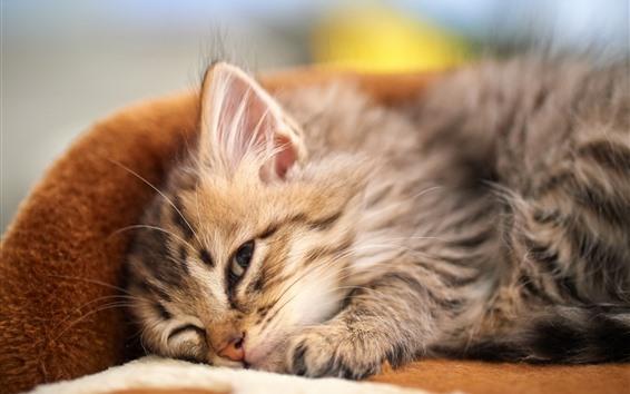 Обои Пушистый котенок, домашнее животное