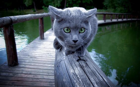 Papéis de Parede Gato cinzento, olhos verdes, rosto, cerca, lago, parque