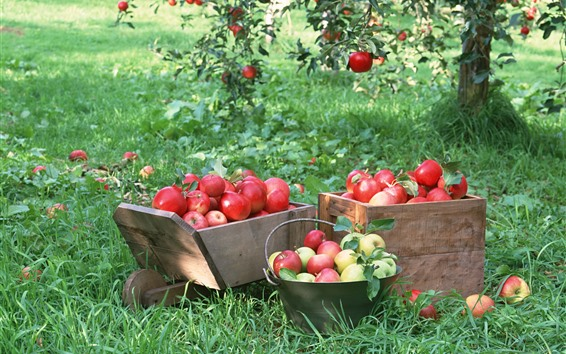 Wallpaper Harvest, fruit, ripe red apples