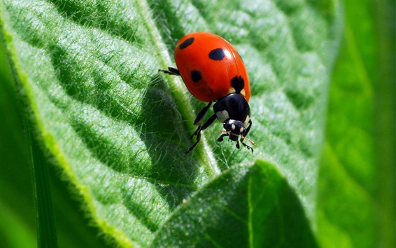 Wallpaper Insect, red ladybug, green leaf