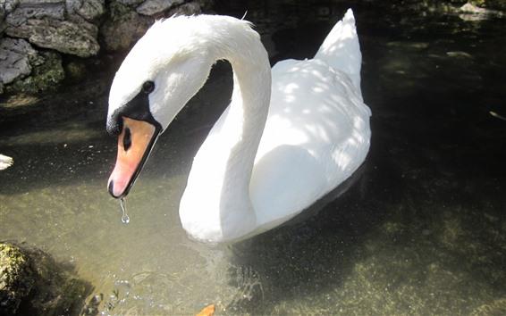 壁紙 1つの白い白鳥、頭、首、水