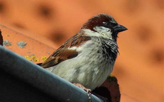 Papéis de Parede Pardal, pássaro, ficar