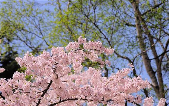 Wallpaper Spring, pink flowers bloom, trees