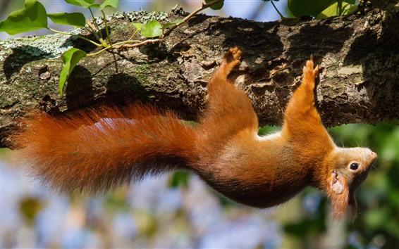 Papéis de Parede Esquilo, escalar, árvore, animais selvagens