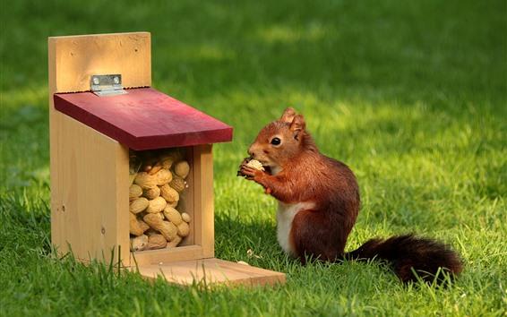 Papéis de Parede Esquilo, comida, amendoim, grama