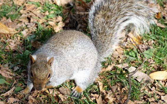 Papéis de Parede Esquilo no chão, cauda