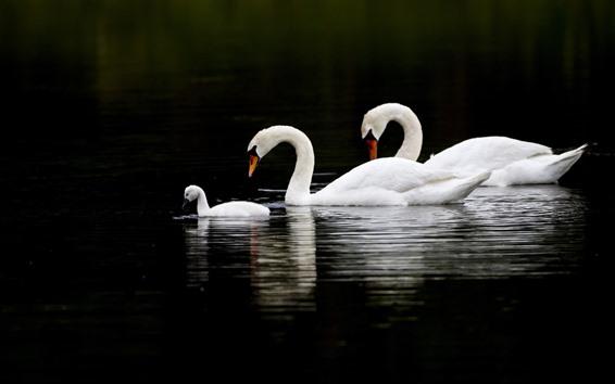 Обои Три лебедя, озеро, черный фон