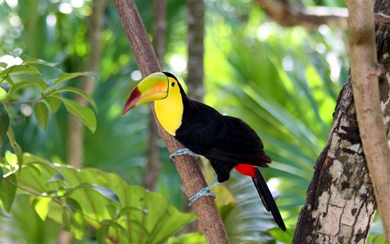 Papéis de Parede Tucano, bico, pássaro, floresta