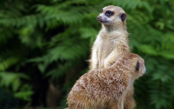 Papéis de Parede Dois suricatos