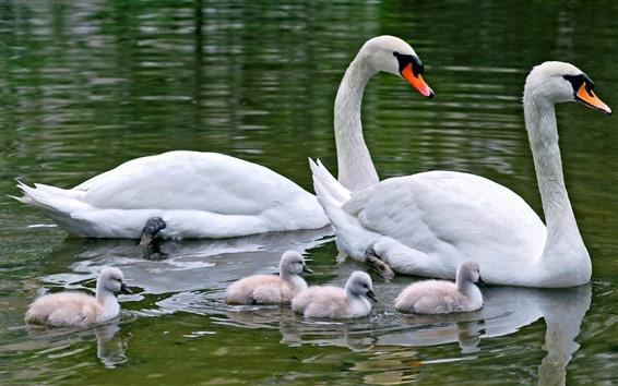 壁紙 2つの白鳥、家族、水、湖