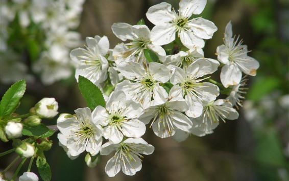 Wallpaper White apple flowers bloom, hazy, spring
