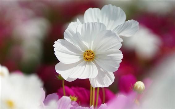 Papéis de Parede Close-up de flor branca kosmeya, pétalas