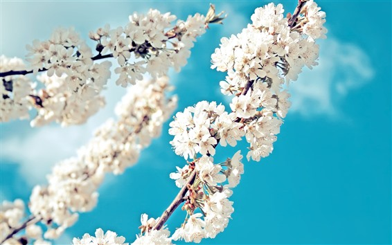 Wallpaper White sakura, flowers bloom, twigs, blue sky, spring