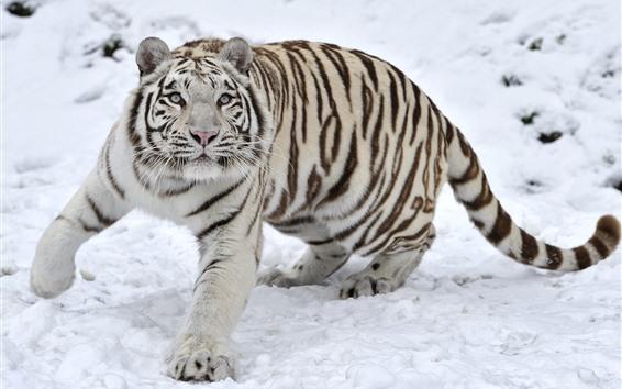 Wallpaper White tiger, snow, look, wildlife