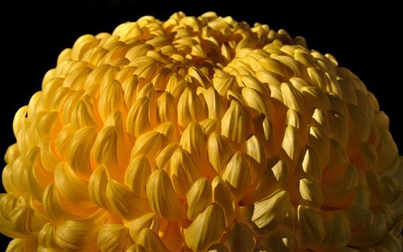 배경 화면 노란 국화, 많은 꽃잎