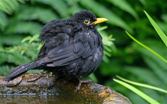 Papéis de Parede Pássaro de penas pretas, água