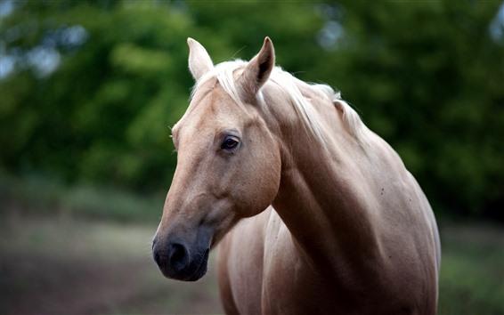 Обои Коричневая лошадь, лицо, голова