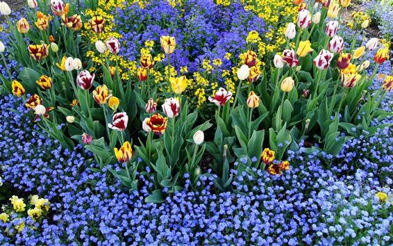 Fondos de pantalla Coloridos tulipanes y pequeñas flores azules, jardín