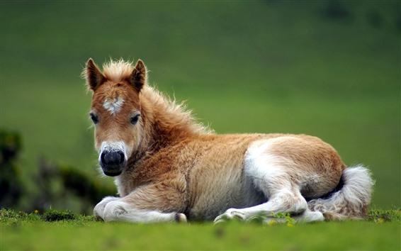 Обои Милый пони, отдых, трава, конь