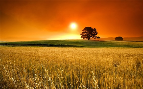 Wallpaper Golden field, tree, sunset, glare