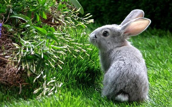 Fond d'écran Lapin gris, look, herbe