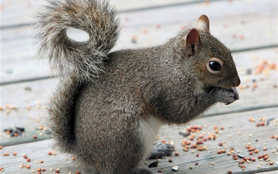 Обои Серая белка ест орехи