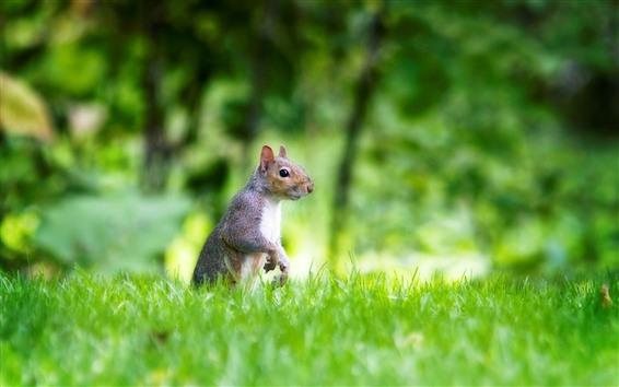 Wallpaper Green grass, squirrel, look
