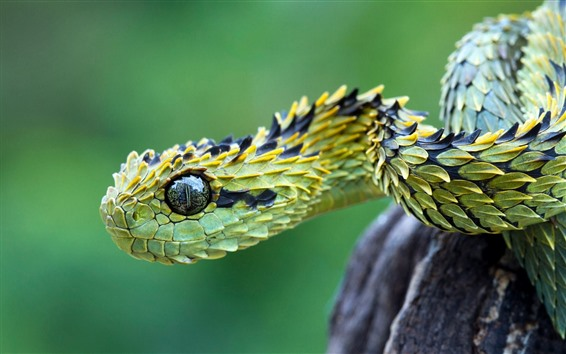Wallpaper Green viper, snake, scales