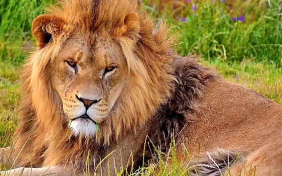 Wallpaper Lion, look, rest, grass