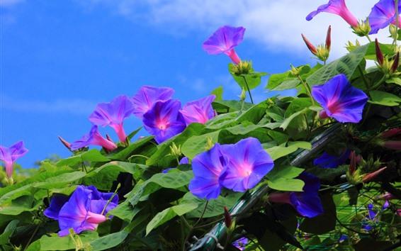 Papéis de Parede Muitos glória da manhã roxa, flores, céu