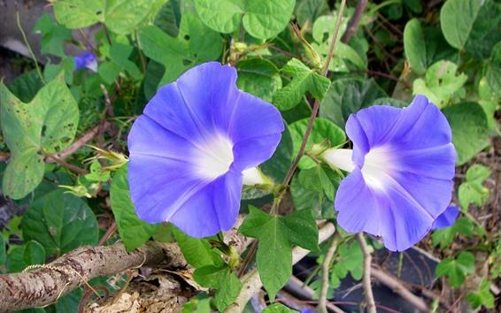 Papéis de Parede Glória da manhã, duas flores azuis