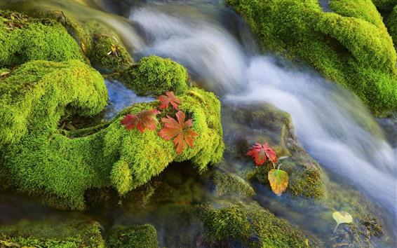 Fond d'écran Mousse, ruisseau, ruisseau, feuilles d'érable