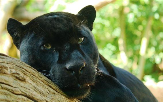 Обои Пантера, лицо, взгляд, глаза, черный леопард