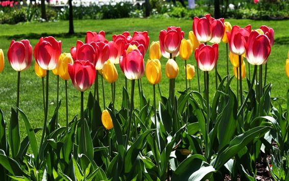 Papéis de Parede Tulipas de parque, rosa e amarelo, folhas verdes