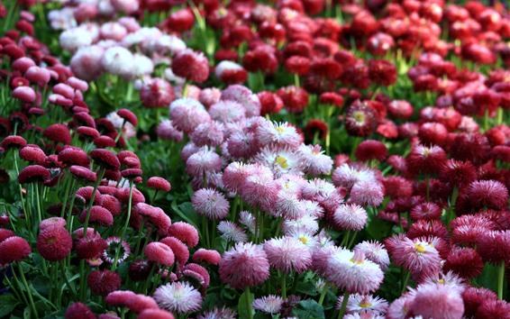 배경 화면 핑크색과 붉은 데이지, 많은 꽃