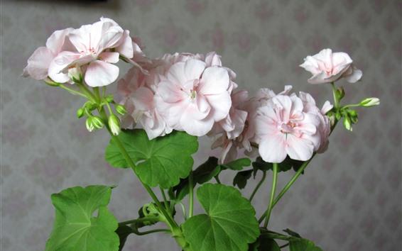 배경 화면 핑크 제라늄, 꽃, 관엽 식물