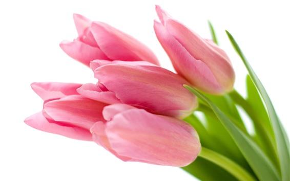 Papéis de Parede Tulipas cor de rosa, botões de flores, fundo branco