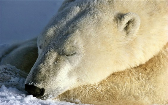 Wallpaper Polar bear in sleep