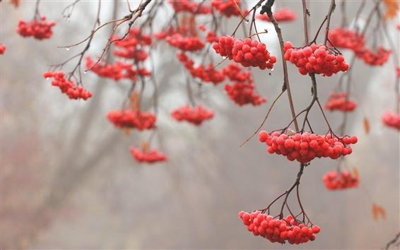 Обои Красные ягоды, веточки, роса