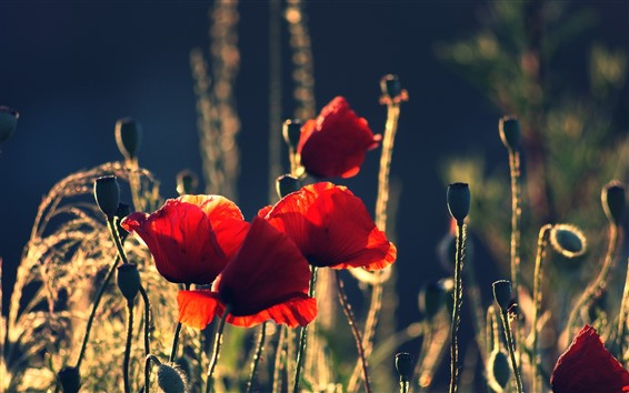Wallpaper Red poppies, flowers, summer