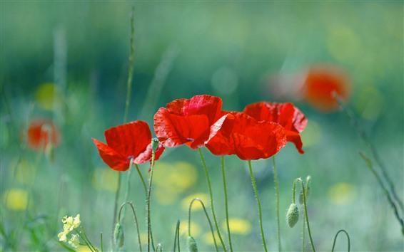 Fond d'écran Coquelicots rouges, herbe verte, fleurs