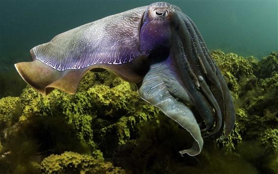Wallpaper Sea animal, octopus, underwater