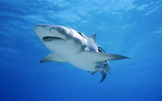 Обои Акула, морское животное, подводное