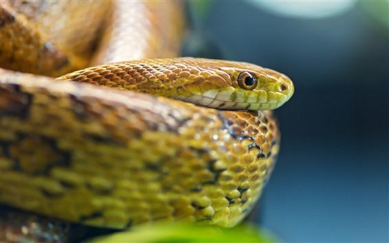 Papéis de Parede Cobra, víbora, cabeça, olhos